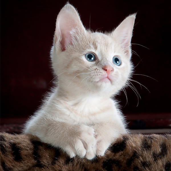 عکس گربه با چشم های آبی
